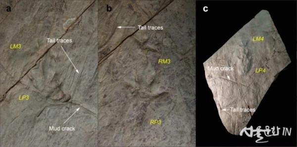노바페스 울산엔시스(Novapes ulsanensis) 발자국과 꼬리 끈 흔적(Tail traces) 및 건열(Mud crack).jpg