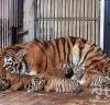 서울시 산하동물원, 23년 만에 아기코끼리 탄생에 이어 '백두산호랑이' 4마리 탄생